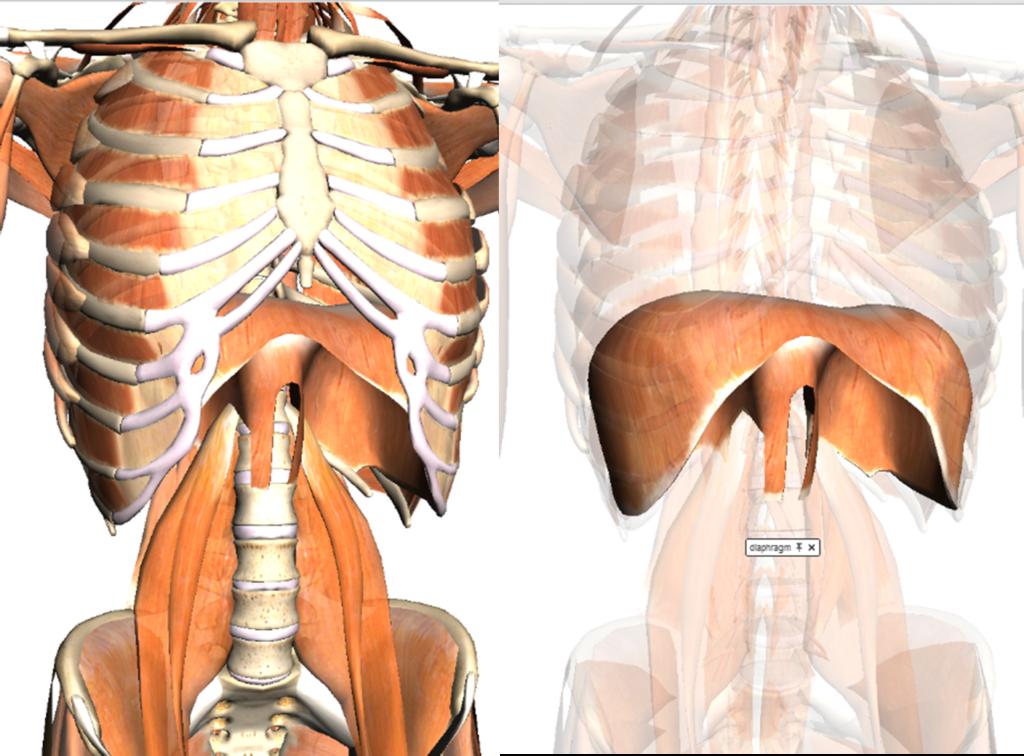 sistema muscular do tronco